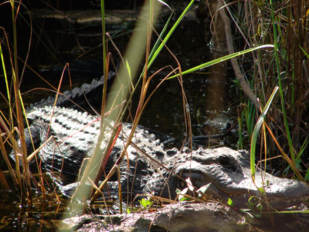 What visit to the Everglades will complete without spotting an alligator.