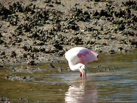 A roseate spoonbills foraging on the tidal flats.